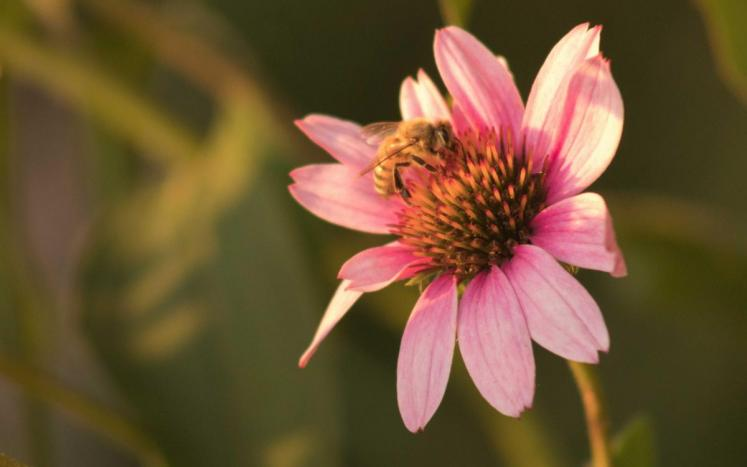 Bee at pollinator flower